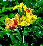 Canna'Cleopatra',3 Knollen Canna indica Indisches Blumenrohr