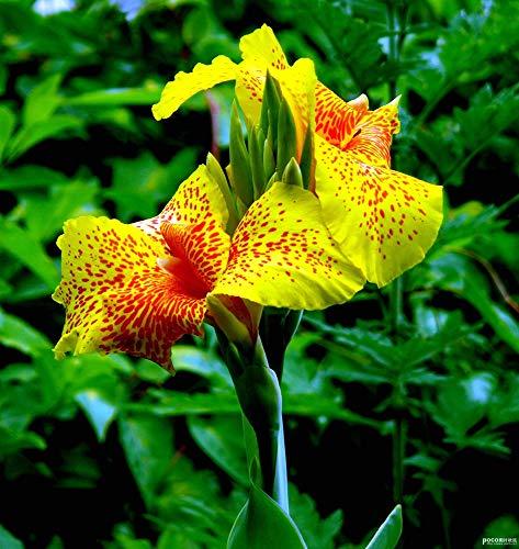 """Canna\""""Cleopatra\"""",3 Knollen Canna indica Indisches Blumenrohr"""