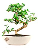 Bonsai Live Plants Carmona Indoor Bonsai Plant with Pot for Indoor Home