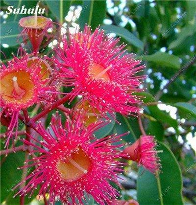 100 Pcs/Sac Rare Eucalyptus arc-en-floraison Graines, Graines Arbre tropical, Eucalyptus plantes pour jardin d'ornement Bonsai 3