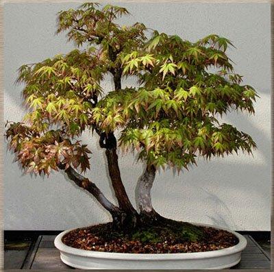 50 PCS rares graines de l'érable vert et violet Couleur Rouge Feuillage Bonsai Jardin Plante en pot pour Flower Pot Planters 4
