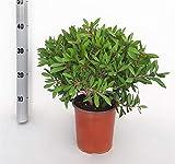 Fleur de Botanicly – Rince Bouteille – Hauteur: 45 cm –...