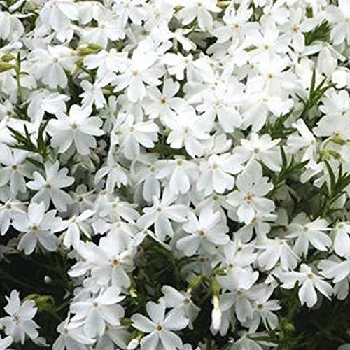 Garten-Teppich-Flammenblume Größe