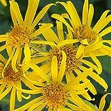 6 x Ligularia Dentata - Japanischer Goldkolben Kleincontainer 9cm x 9cm