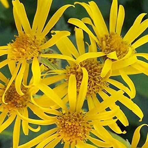 6 x Ligularia Dentata - Japanischer...