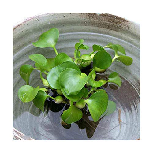 (ビオトープ)水辺植物 ホテイ草(ホテイアオイ)(10株) 金魚 メダカ 北海道航空便要保温