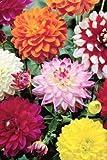 Dahlia Dekorative Mischung - 20 Dekorative Dahlien Knollen/Blumenzwiebeln aus Holland - Versandfrei