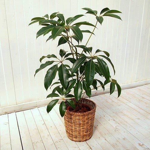 日比谷花壇『観葉植物「ツピタンサスLバスケット」』