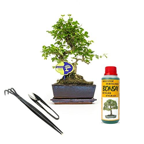 Inter Flower - Bonsai-Set für Einsteiger/Geschenkset - 4 Teilig - zimmertauglich, Bonsai + Dünger + Werkzeug (Wurzelkralle und Blattschneider) - aus japanischen Bonsai-Fachgeschäft