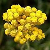 Semillas de Siempreviva del Monte 60 Semillas de Helichrysum Italicum