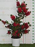 Callistemon Laevis vaso 17 cm pianta da esterno pianta da fiore pianta ornamentale venduto...