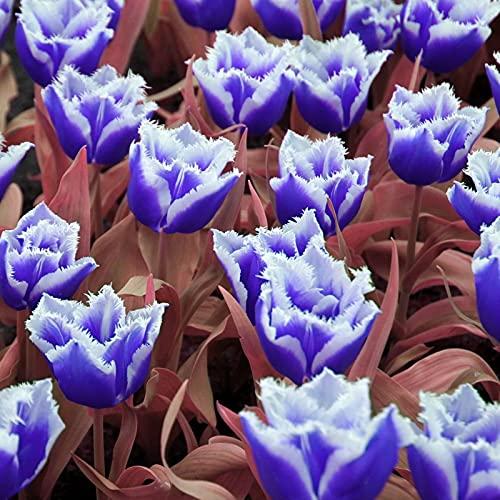 Tulipan Bulbos,Se Puede Regalar A Amigos,FáCil De Cultivar,Vale La Pena Plantar-2 Bulbos,1