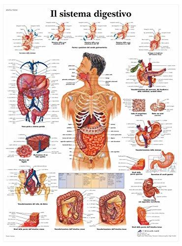 3B Scientific VR4422L il Sistema Digestivo