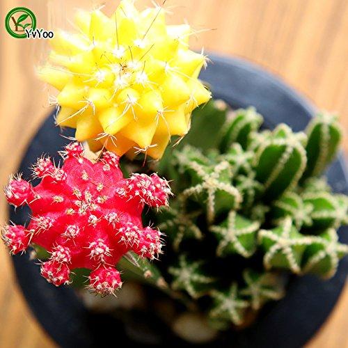 Balcon en pot Graines Cactus Arbre en pot Bonsai Courtyard jardin Bonsai usine 30 pcs T022