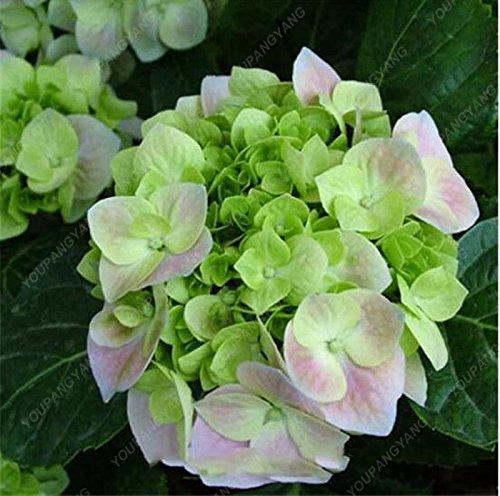 20pcs / pack Red Hydrangea planter des graines Mélangé Hydrangea Fleurs Accueil plantes graines de fleurs Bonsai Viburnum pour le jardin de la maison multicolor