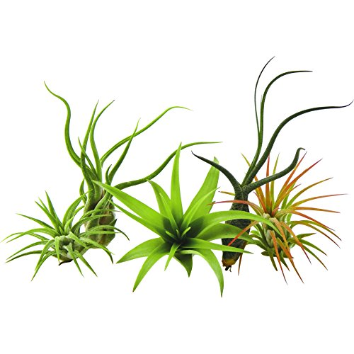 5 Pack Air Plant Tillandsias by Bliss Gardens / Live House Plants Includes Gift Box