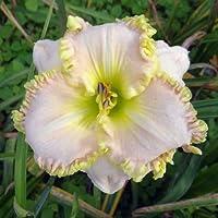 白いカンゾウ球根丈夫な優雅な天然開花観賞植物植物盆栽,20カンゾウ球根