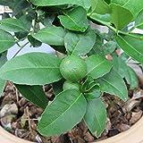"RubyShop724 Persian Lime_Tree - Fruit Bearing Size -6"" Pot-No Ship to Tx, Fl, Az, Ca, La, Hi"