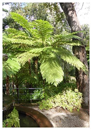 TROPICA - Australischer Schuppenbaumfarn (Cythaea cooperi) - 200 feine Sporen