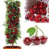 ZHOUBA - Semi di ciliegia per piante da giardinaggio, 20 pezzi di semi di ciliegia dolce non OGM commestibile, bonsai giardino fattoria