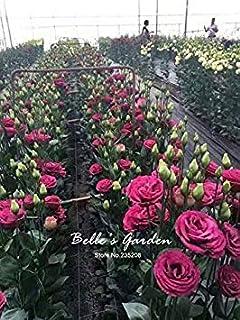 ASTONISH SEEDS: 11: 50pcs Multi-colores Lisianthus Semillas hermosas Eustoma Grandiflorum Phire Semillas hermosas Semillas...