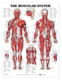 The Muscular System Anatomical Chart Laminated