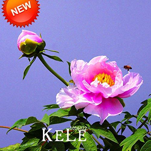 Vente! 25 Couleur sélectionnable authentique chinois Graines de pivoine fleurs en pot Fleurs Bonsai pivoine Plante Graines 10 semences / Lot, # K8IDQ4
