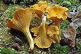 Funghi gallinacci (Cantharellus cibarius) Semi micelio Spore Spawn secchi