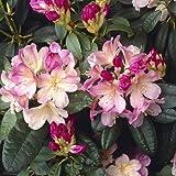 Rhododendro Percy Wiseman * planta