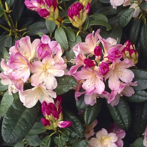 Rhododendron Percy Wiseman * Pflanze