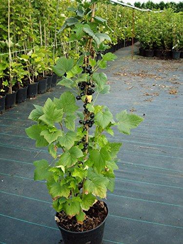 Müllers Grüner Garten Shop Titania (S) schwarze Johannisbeere in Säulenform Säule ca. 80-100 cm Pflanze im 3 Liter Topf