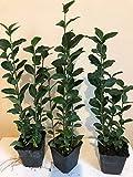 Liguster ovalifolium immergrün 3 Stück 35-50 cm im Topf gewachsen T9x9 Hecken