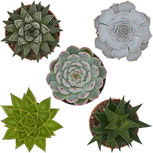 Pasiora Sukkulenten Mix im 10,5cm Topf, verschiedene mittelgroße Pflanzen, Geschenkset (5 Stück)