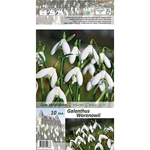 Florado 10x Woronow-Schneeglöckchen Blumenzwiebeln, Zwiebelblume, Garten Balkon, Blumen Schnittblumen, Bienen Hummeln, Größe 7/+