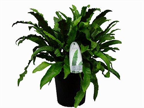 Seltener Hirschzungenfarn Asplenium scolopendrium - verschiedene Größen (Topf 5 Ltr.)