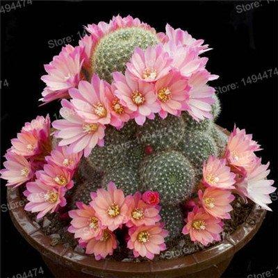 100pcs Big Sale Succulent Plant Graines de Cactus Cactus mixte fleurs ornementales joli jardin Bonsai graines de plantes pour jardin orange