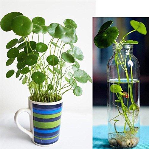 Sellify 50Pcs/Sac cuivre Herbe Plante Aquatique Bonsaï Ornement annuel Jardin d'eau Froide Graines de Fleurs Graines Pilea intérieur Putdoor Pot Seed