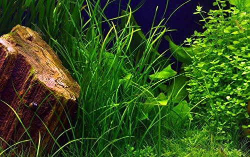Tropica Aquarium Pflanze Vallisneria Nana Nr.056C Wasserpflanzen Aquascaping Aquariumpflanzen