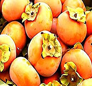 4 Packs x 10 Persimmon - Diospyros virginiana - FRUIT TREE Seed SEEDS - A+ TASTE High Vitamin C Content - Cold Hardy To Zone 6 - By MySeeds.Co