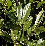 Kirschlorbeer Elly® 40-60cm - Prunus laurocerasus