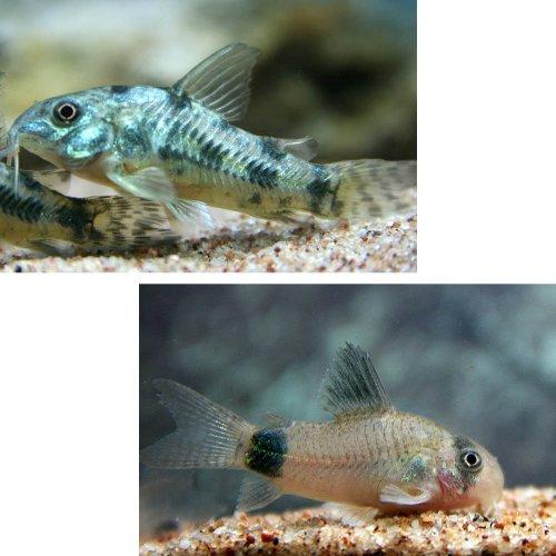(熱帯魚)コリドラス パレアタス(約3cm)(5匹)+ コリドラス パンダ【ブリード】(約2cm)(5匹)[生体]