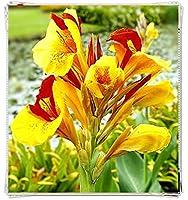 カンナユリ球根&背の高いスタイルの明るく明るい庭の植物,3球根