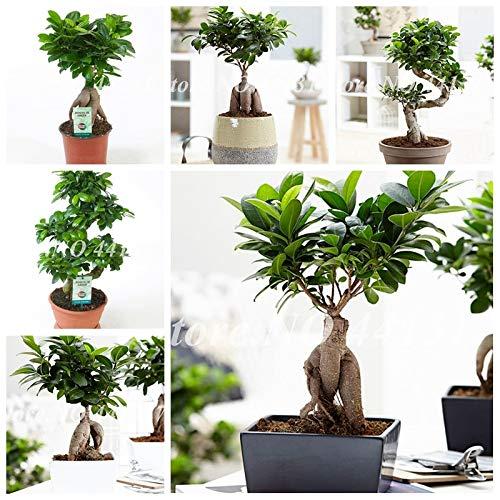 Generic Fresh 50pcs Ficus LyrataTree SEMILLAS para plantar Green 2