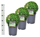 3 Buchsbaum Kugel 30cm + gratis Dünger. Zertifiziert mit dem TOPBUXUS ECO-PLANT-Label. Gezüchtet ohne Gift.