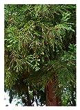 Sugi Cedar/Japanische Sicheltanne - 100 Samen...