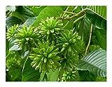 Camptotheca acuminata - Chinesischer Glücksbaum - 10 Samen