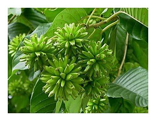 Camptotheca acuminata - Happy Tree - 10 graines