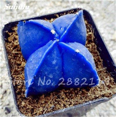 Succulentes graines fraîches 200 Pcs étoile à cinq branches charnus Graines rares Sempervivum Mix-types Fleurs Succulent Bonsai plantes 19 en pot