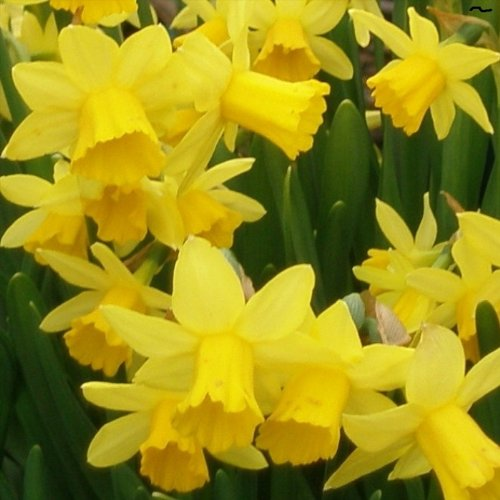 Daffodil Bulbs, Narcissi Bulbs Dwarf, Tete a Tete - 100 Bulbs