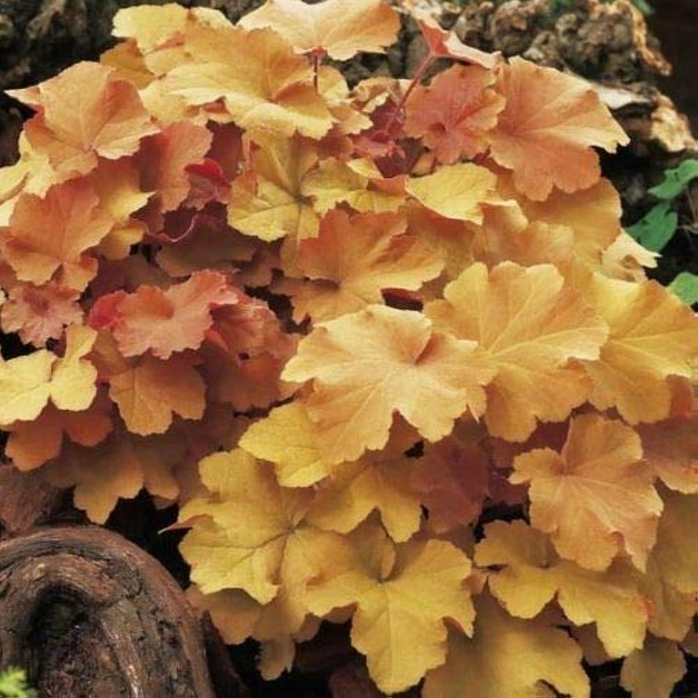10 Heuchera ' Caramel ' - Coral Bells - Live Plant - Alumroot - Perennial Plants